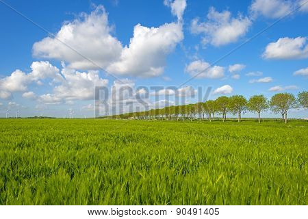 Green wheat on a field in spring