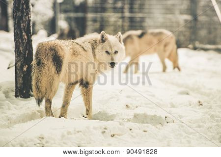 White Wolfs Pack