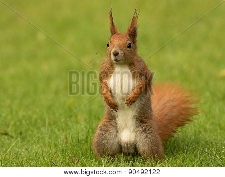 European Squirrel Sitanding On The Grass (sciurus)