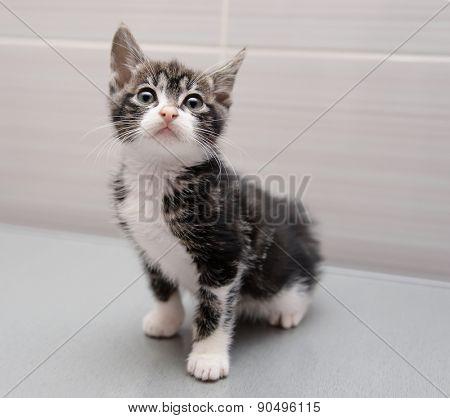 Purebred Grey Kurilian Bobtail Kitten