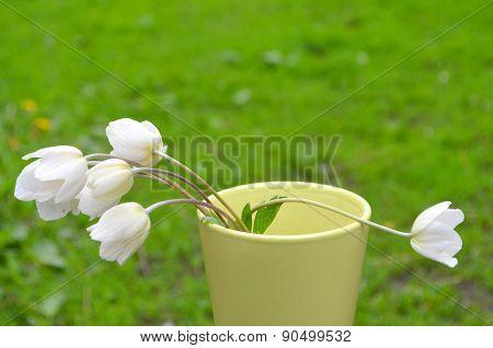 Anemone, windflower