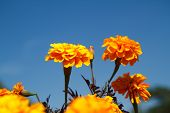 picture of marigold  - Beautiful marigolds flower in the garden of Thailand - JPG