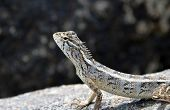 picture of lizard skin  - little lizard on the rock in nature detail photo - JPG