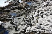 pic of jackass  - Jackass or African Penguin  - JPG
