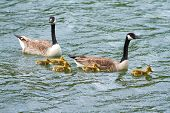 picture of baby goose  - A goose family floating on the water - JPG