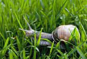image of garden snail  - snail in the garden on the grass - JPG