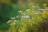 stock photo of parsnips  - cow parsnip at sunset - JPG