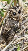 picture of pecker  - Close up Owl portrait front in park nature - JPG
