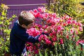 picture of azalea  - child cleans bush of pink azaleas on the terrace - JPG