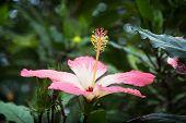 image of hibiscus flower  - Macro photo of pink hibiscus flower - JPG