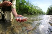 stock photo of trout fishing  - Fisherman catching brown trout with fishing line in river - JPG