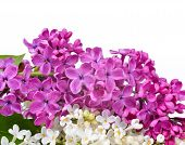 stock photo of purple white  - Purple and white lilac flowers on white background - JPG