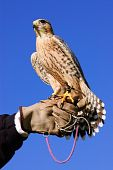 Peregrine Falcon On Glove