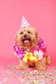 image of dog birthday  - Birthday dog with chains and hat on pink background - JPG