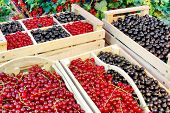 image of crate  - Black And Red Currants Berries Harvest In The Wood Crate And Red Curant Bush In The Summer Garden Background - JPG