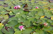 stock photo of day-lilies  - Colorful Water Lilies in sunlight on a spring day - JPG