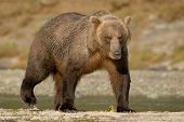stock photo of grizzly bear  - Grizzly Bear walking on beach beside River - JPG