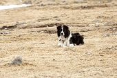 image of attention  - Portrait of an attentive and watchful border collie - JPG