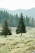 picture of ecosystem  - Lone trees on alpine pasture with healthy coniferous forest of spruce fir larch and pine trees in the background wilderness area - JPG