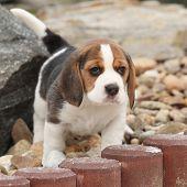 foto of puppy beagle  - Beautiful beagle puppy on the garden in winter - JPG