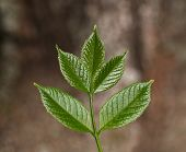 stock photo of ashes  - Macro of ash tree  - JPG