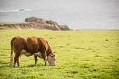 picture of cow  - Cow and the Farmland at the Sea - JPG