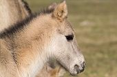 stock photo of wild horses  - wild Konik Horse Foal with mother and grass in background - JPG