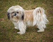 stock photo of overbite  - A small cute unkempt and scruffy Shih Tzu dog standing in full profile - JPG