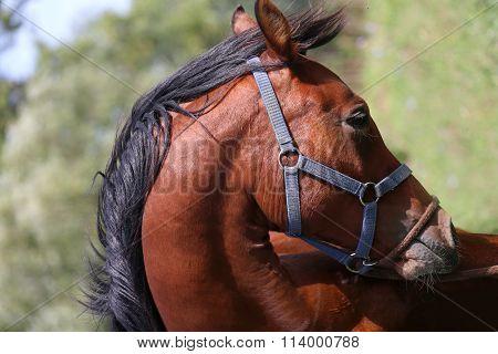 Head Shot Of A Beautiful Arabian Stallion At Farm