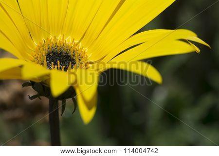 Single Yellow Arctotis Flower