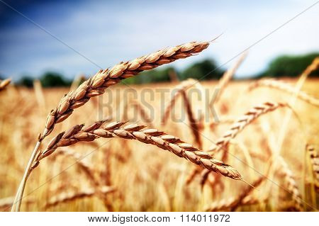 Golden Wheat Field (spelt Wheat) At Summer Day