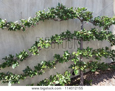 Apple Tree Branches in a Botanical Garden