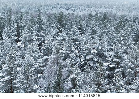Forest covered with snow