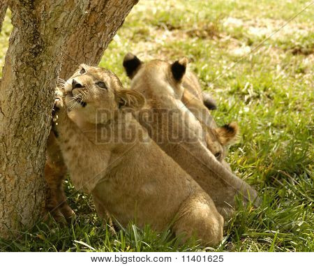 Lion Cub Claws