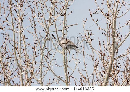 White Dove Perched in Winter Trees