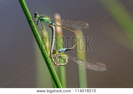 Blue-tailed Damselfly (Ischnura elegans) dragonfly mating on a grass.