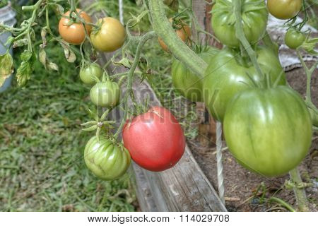 Tomatoes, growing in the garden in the greenhouse