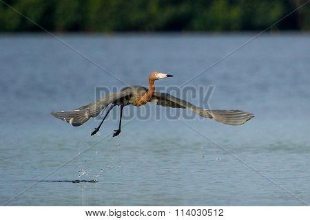 Reddish Egret (egretta Rufescens)