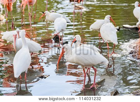 The White Ibis Bird In The Park In The Autumn