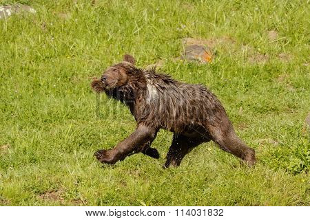 Young Grizzly Bear (ursus Arctos)