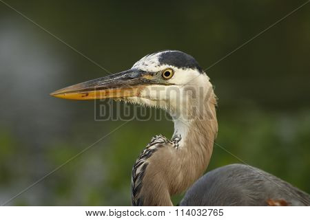 Portrait Of Great Blue Heron