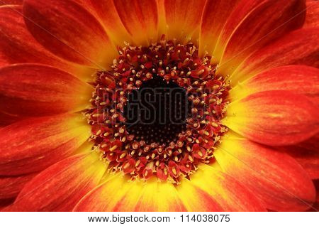 Red And Orange Daisy Flower