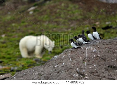 Little Auks and polar bear in summer Arctic