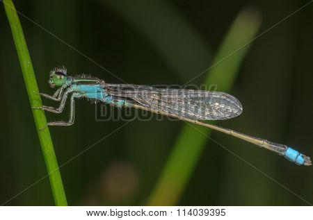 A blue tailed damselfly resting on the green branch.