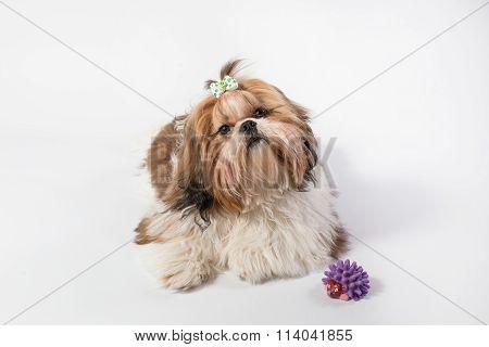 Fat Funny Fluffy Shih-tzu Puppy