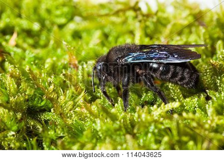 Violet Carpenter Bee On Moss Lateral View