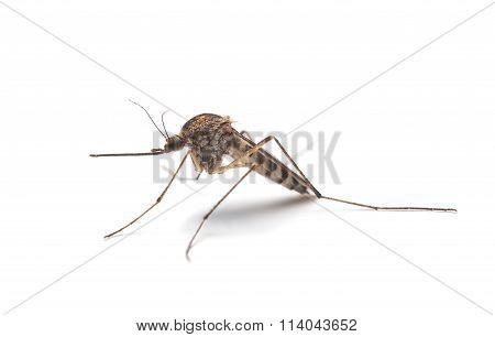 Mosquito (culex Pipiens) Profile
