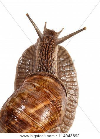 Rear View Of Snail