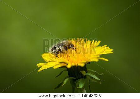 Furry Flower Beetle Feeding On Dandelion