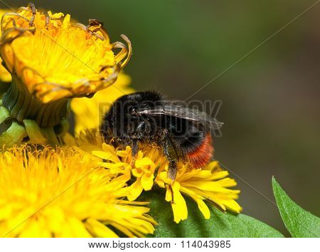 Feeding Bumblebee